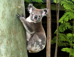 Beautiful Koala (not a bear) Photographer S.Jardine
