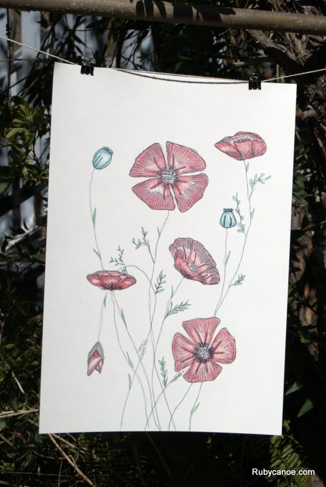 Poppies Illustration.  Coloured Pencils on Canvas Paper