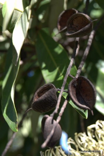 Wattle seed pods, they always look like they are singing to me. Such happy seed pods.
