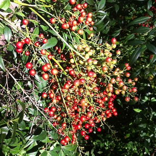 Red berries.  26.04.13