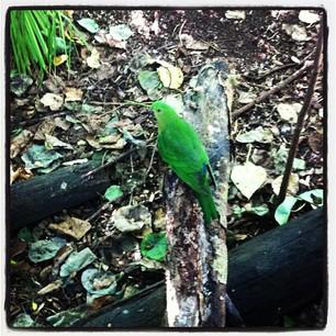 26/04/13 Green Parrot.