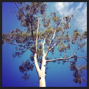 Gum Tree 26.04.13