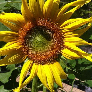 Sunflower 26/04/13