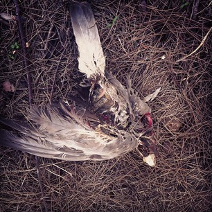 An unfortunate end for a galah.  26.04.13