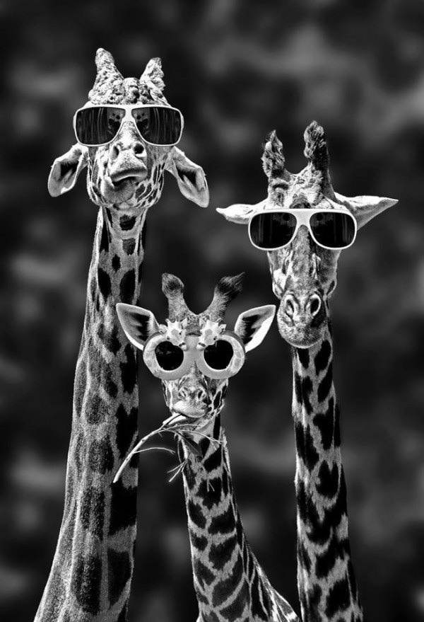 Party Giraffes